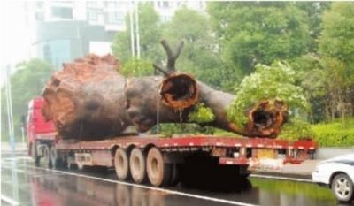 ▲10月28日,株洲天元区隆兴管理处16队,一棵560年的古樟树险些被人盗走,幸得居民解救。通讯员 陈瑛 摄
