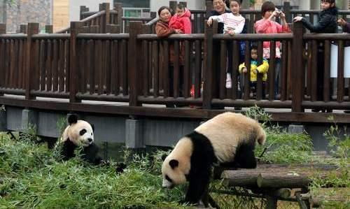 """11月5日上午,从四川成都空运过来的两只大熊猫""""奇福""""和""""妮妮""""抵达长沙生态动物园熊猫馆。这两只憨态可掬的""""活宝""""立即受到游客的追捧。本报记者 徐行 摄"""