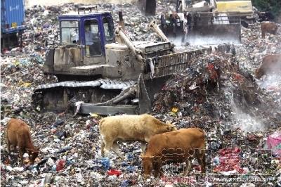 11月6日,长沙黑麋峰固体废弃物处理场,附近村民的牛正在垃圾堆里寻找吃的 。这些牛常年被放养在这附近,主人会在它们长得够大后抓回去宰杀。 图/记 者华剑