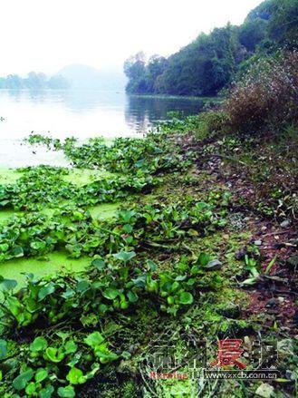 官桥镇八角亭村附近的河段,水葫芦蔓延1千米左右。摄影/记者陈斌 实习生巩玮