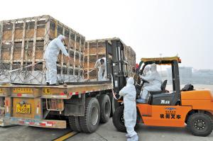 黄花机场工作人员正在装卸生猪。