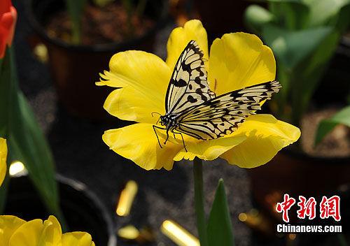 """3月27日,以""""最美的春季花园""""为主题的世界名花生态文化节""""春之歌""""七大花展,在湖南省森林植物园开幕。图为""""蝶恋花""""。杨华峰 摄"""