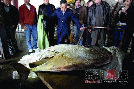 4月16日,岳阳市某鱼市场,从冷冻仓库取出来的两头江豚尸体将被运到武汉解剖。图/记者华剑