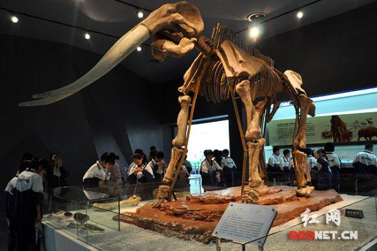 东方剑齿象化石成为湖南古人类存在的一个间接证据