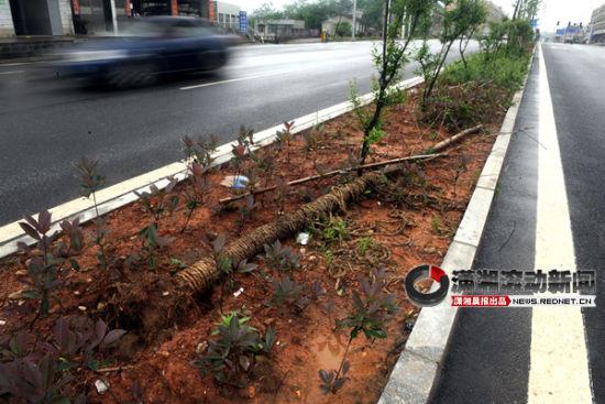 4月30日,长沙市枫林西路绿化带的银杏树被连根拔起。