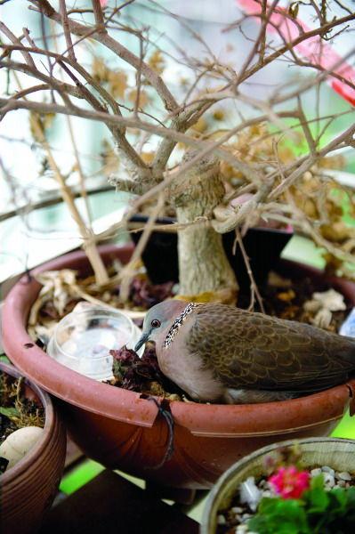 一只不请自来的野生斑鸠在市民王先生家阳台废弃的花盆里下了两个蛋。图/记者张轶