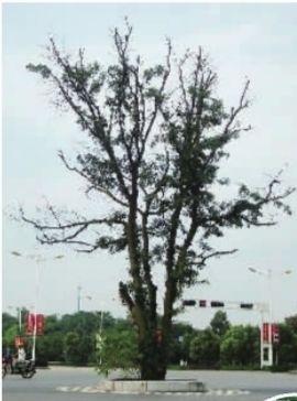 ▲衡阳失踪的皂角树。