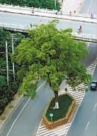 ▲长沙万芙路路中央被保护起来的百年老樟树。