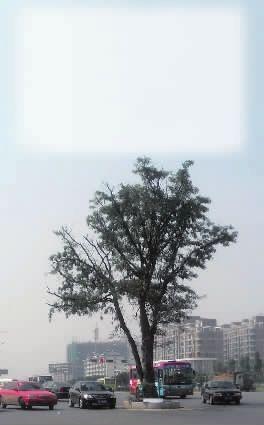 这棵皂角树见证了衡阳百年历史。