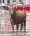 黄牛跑入闹市。视频截图