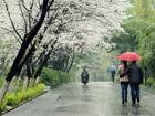 清明时节樱花雨