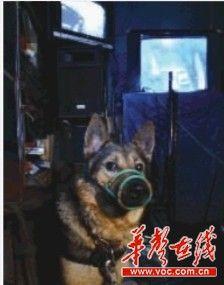 """监控室里的哨兵是一只叫""""臭臭""""的德国牧羊犬。它的嘴套是宋稳朝为接待记者特意带上去的。"""