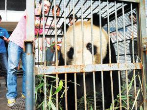 """大熊猫""""龙腾""""踏上回家之旅,眼神中有点依依不舍。熊镭摄"""