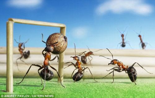 摄影师借微距镜头拍下蚂蚁举起小球的照片