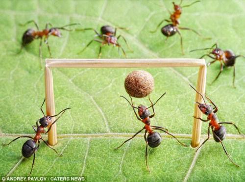 """蚂蚁围守球门,好似正在""""踢足球"""""""