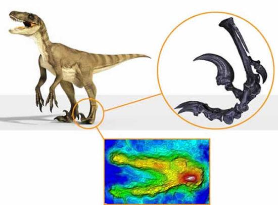 恐爪龙类复原图,脚部骨骼