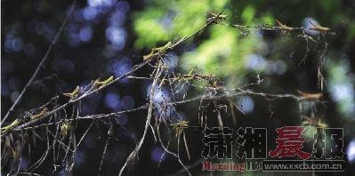 昨日,长沙望城区白箬铺镇龙唐村,蝗虫破坏了70亩竹林,部分还入侵到了农田。本版图/记者张轶