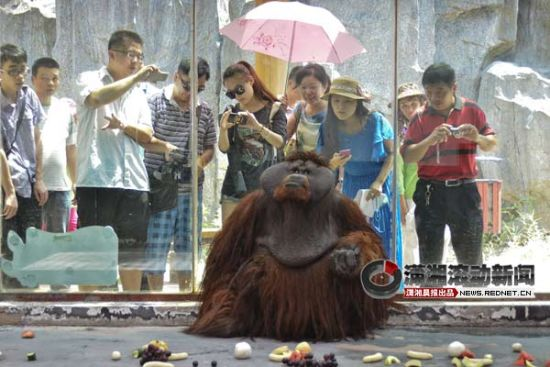 (红毛猩猩毛毛今日来到长沙,它是第一只在长沙定居的红毛猩猩。图/潇湘晨报滚动新闻记者 华剑)