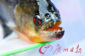 咬伤人的食人鱼满嘴尖牙,还活着。 CFP供图