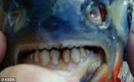 """这种""""食人鱼""""的牙齿与人类相似,而一种又称""""水虎鱼""""的小型食人鱼牙齿尖锐。"""