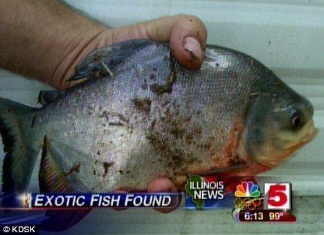 """美国伊利诺伊州机构担心,这种专咬男性生殖器的怪鱼已""""入侵""""美国。"""