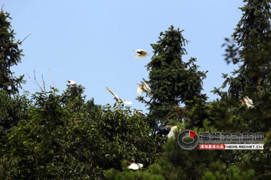 7月11日,宁乡县青山桥镇田心铺村聚集了数千只鸟儿。图/记者华剑