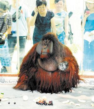 """红毛猩猩""""毛毛""""正在适应长沙的新家,它经常在室内静坐不动,仿佛一位哲学家。 周柏平摄"""