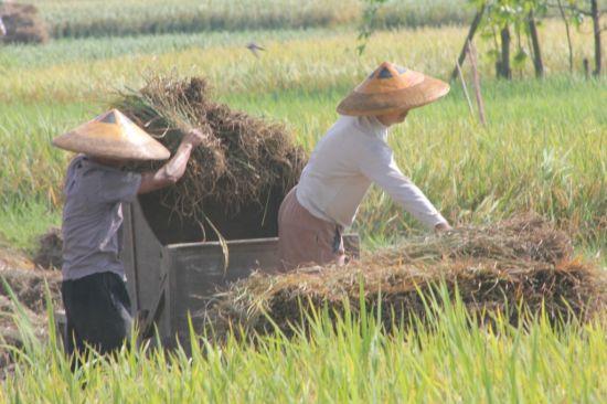 晓江口村的农忙景色