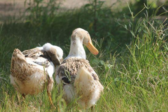 村子里悠闲地晒着太阳的鸭子