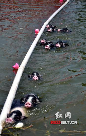 花猪运动会,令人捧腹大笑。