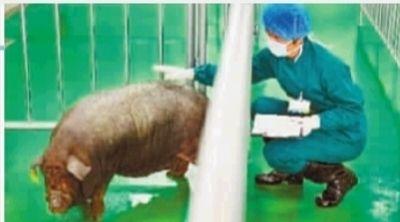 8月18日,宁乡县金洲新区,中南大学异种移植供体培育中心,技术人员在对医用供体猪进行观察和培育。