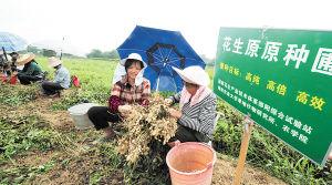 村民正在采摘彩色花生原种。余志雄摄