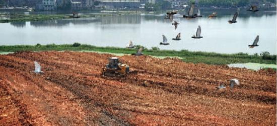 8月30日,岳麓山风景区后湖景区,一台推土机正在整平填湖的土方。