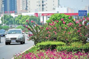 三一大道四方坪路段,路边盛开的紫薇花让城市道路变得赏心悦目。据了解,三年来,长沙累计种植了将近20余万株紫薇,自去年开始,还大面积种植茶梅、黄花槐、紫荆、腊梅、夹竹桃等植物,确保城区四季有花。近5年,长沙累计投入绿化美化、植树造林资金120亿元,89条城市主干道绿地率逾25%,75条城市次干道绿地率超过16%,基本实现了道路林网化绿荫化。