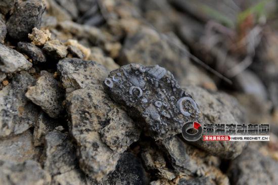 (湘潭湘乡市毛田镇齐心村发现大量化石。 图/潇湘晨报滚动新闻记者 邵骁歆)
