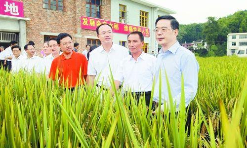 9月3日,省委书记、省人大常委会主任周强在隆回县超级杂交稻高产攻关示范基地考察。本报记者 刘尚文 摄