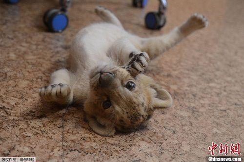 """""""琪拉亚""""的爸爸是狮子 妈妈是狮虎兽"""