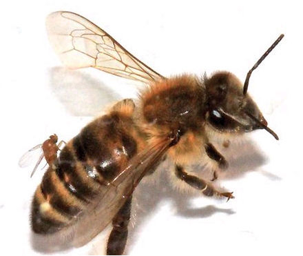 """一只寄生虫正将虫卵产进蜜蜂体内,该蜜蜂很快将变成""""僵尸蜜蜂"""""""