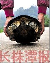 10月5日,株洲市石峰区霞湾村再山组 ,一市民抓到一只近17斤重的大乌龟。本报记者 陈杰 摄