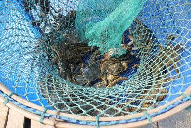 公蟹吃膏、母蟹享黄,如何区别螃蟹的图片