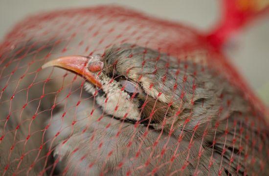 被执法人员没收回的鸟,它,还活着。(长沙晚报记者 李锋 颜家文)