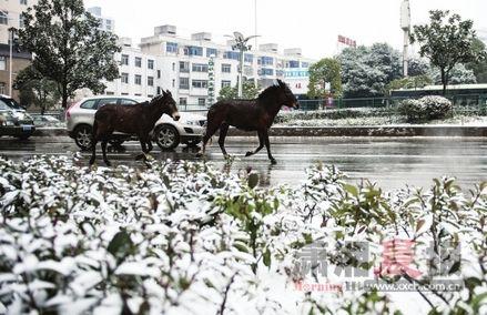 1月4日,长沙韶山南路,两头从云南来的骡子偷跑出来,在大街上溜达。图/记者李坤