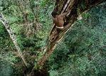 """新几内亚原始部落""""树屋人""""生活"""