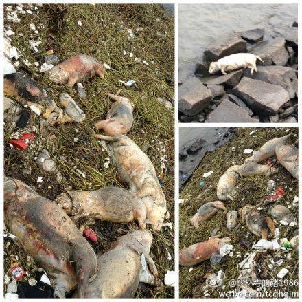 松江环保部门溯源而上,一路都见到死猪