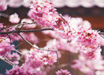 武陵浪漫樱花雨