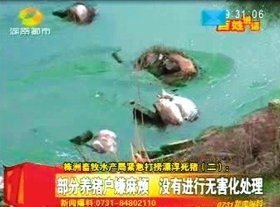 天元区三门镇白石村某渠道内漂浮着很多死猪。视频截图
