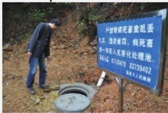 浏阳市葛家乡的死猪无害化处理池,池内还有几头未腐的猪尸。实习记者 唐俊 摄