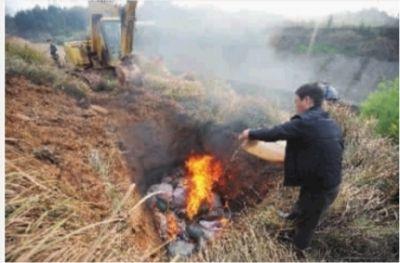 ▲深坑焚烧,撒消毒粉后再将死猪填埋。记者 范远志 摄