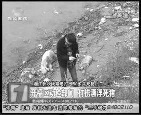 开福区相关部门负责人在三汊矶大桥湘江边调查漂来的死猪。