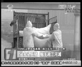 相关部门组织附近居民清理死猪。据现场工作人员称,这样的货车清了好几车。